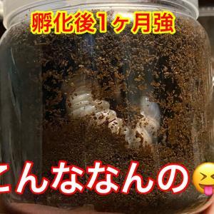 国産カブト幼虫順調
