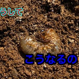 国産カブトの幼虫が死んでいく