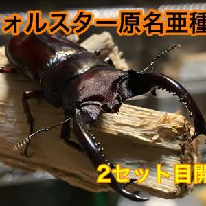 フォルスターフタマタクワガタ原名亜種2セット目開始