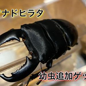 マナドヒラタ追加幼虫ゲット