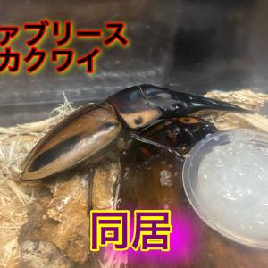 ファブリースノコギリクワガタ亜種タカクワイ同居開始