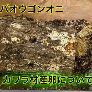 ババオウゴンオニクワガタのカワラ材産卵について