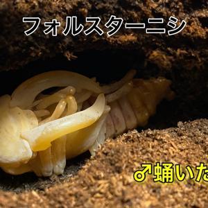 フォルスターフタマタニシ♂蛹発見