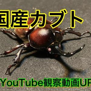 国産カブトムシYouTube観察動画作成にて