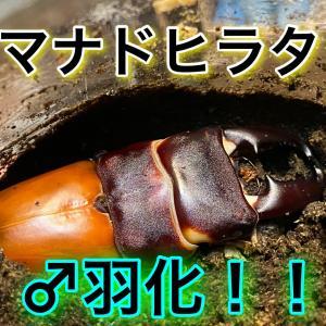 マナドヒラタ♂ついに羽化開始!!