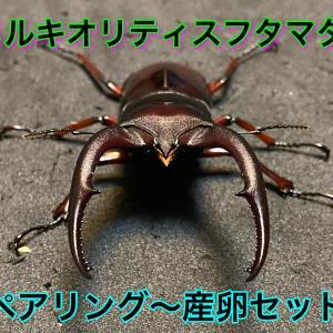 メルキオリティスフタマタクワガタのペアリング~産卵セット