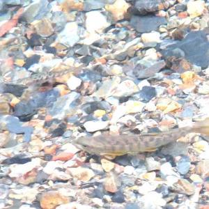 ヤマメの産卵を撮る(足利市松田川上流)