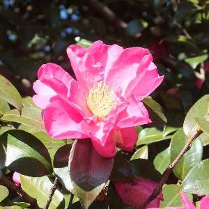 桐生市南公園の山茶花とエナガを撮る