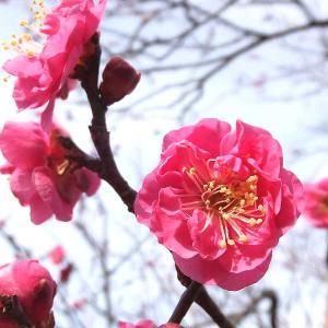 紅梅の開花状況と野鳥を撮る(桐生市南公園)