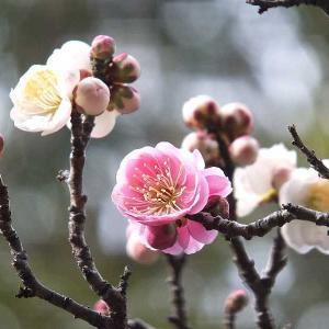 梅の開花状況&メジロ(桐生市南公園)