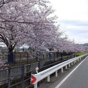 満開の桜を撮る(矢田堀町)