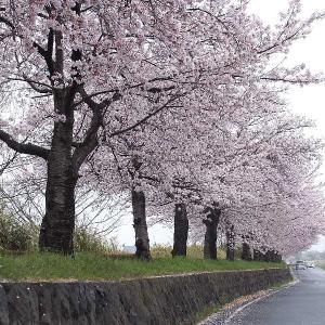 雨に濡れた桜を撮る(多々良沼)