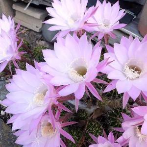 サボテンの花・紫陽花等を撮る🌸