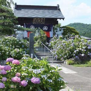 松源寺の紫陽花が見頃です🌸(みどり市)
