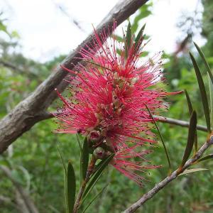 ブラシノキの花等を撮る(群馬県緑化センター)