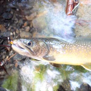 最後の渓流釣りを楽しむ(黒坂石川支流)