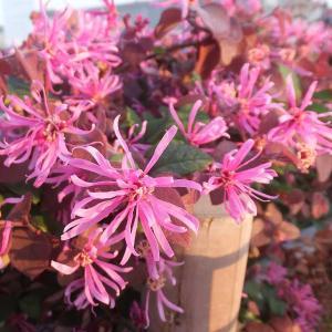 初秋に咲くベニバナトキワマンサクを撮る🌸(伊豆の山公園)