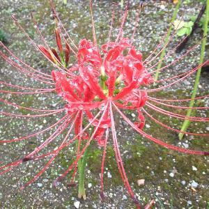 🌸雨に濡れた彼岸花を撮る(恩林寺)