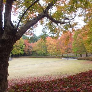 トウカエデの紅葉が見頃だよ!(桐生市南公園)