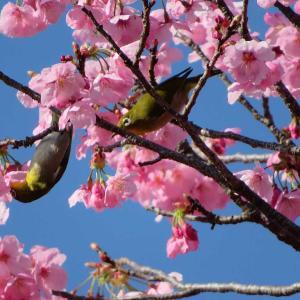 2021満開の陽光桜とメジロ&ヒヨドリを撮る🌺🐤📸(太田市)
