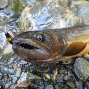 黒坂石川支流のイワナ釣り