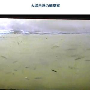今、利根大堰でアユが遡上しています🐟🐟🐟(ライブカメラ)