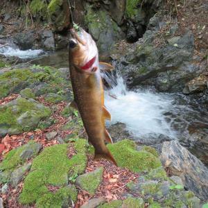 増水している支流でイワナ釣り(黒坂石川)
