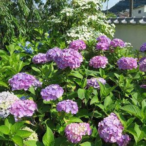 松源寺の紫陽花(みどり市大間々町)