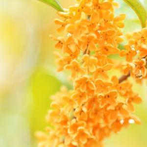 【香りはそれ自体が○○】☆きんもくせいが薫る秋に