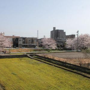 春の北陸旅行・桜満開の富山市内(1)