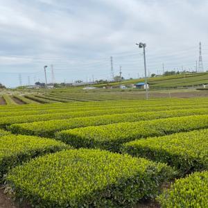健康と美容と免疫力UP 日本の緑茶を飲もう!