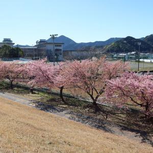 静岡市葵区:美和桜