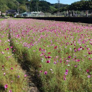 静岡県藤枝市岡部:朝比奈のコスモス畑