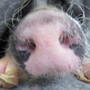 【高槻】ミミちゃん、腰トントン/バンブーくん、撫で撫で/ミニ豚とんかつくんの鼻と再会