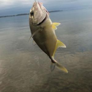 遠州灘サーフの青物の釣果