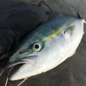 遠州灘サーフでワラサの釣果