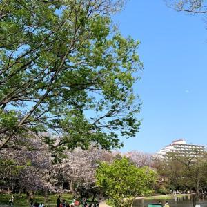 今年のお花見は散歩にて!仲町台「せせらぎ公園」の桜の開花状況とは