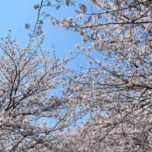 関東の絶景!横浜・江川せせらぎ緑道で桜とチューリップのコラボが見頃を迎える