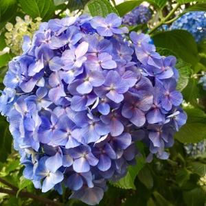 綺麗バラ園と紫陽花!