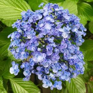 豊島園の紫陽花!