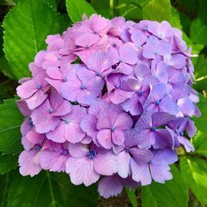 紫陽花と点滴!