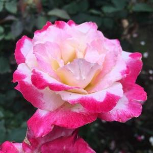 御苑のバラ&おうちご飯!