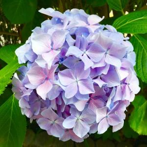 紫陽花と明治神宮!
