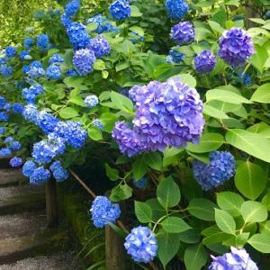 美しい紫陽花寺!
