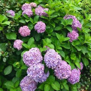 紫陽花と御苑の花たち