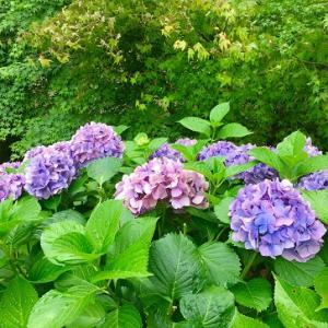 サロンとカフェと紫陽花