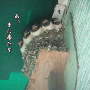 ツバメと巣ごもりチョッピコ