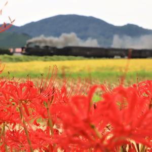 秋のお彼岸にはやはりこの赤い花を撮らなくては!