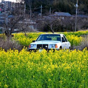 【W124】「昭和のW124」菜の花ロケ2020@川和町