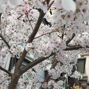 浄土いま比奈夫桜の盛りかな  和田華凛